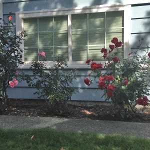 Kenmore home for sale - roses in front yard